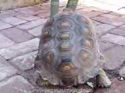 tortoise jizz