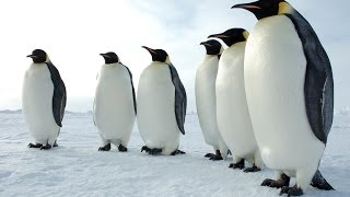 Repeat youtube video Penguins of the Antarctic - Nature Documentary