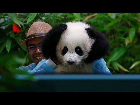 Newborn panda debuts at Malaysian zoo
