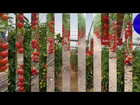 Самый   урожайный  сорт   кистевого  томата   Карасута F1  новинка  от   Сакаты.