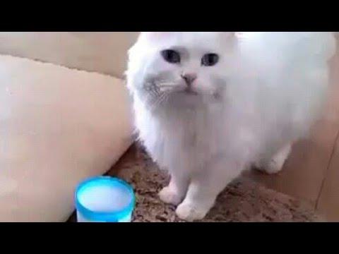 g♥gato que bebe el agua hábilmente♥Vídeo divertido lindo del gato gracioso
