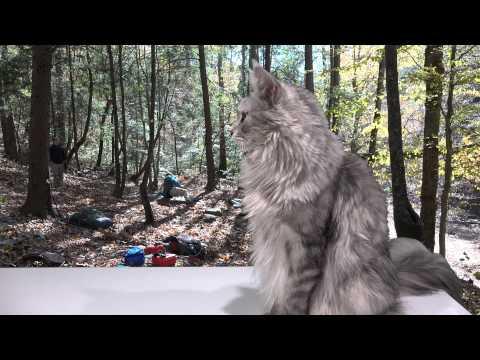 BIG Maine Coon Cat Invades Campsite in 4K UltraHD