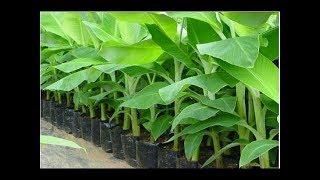 Banana tree plantation Banana tree growing Banana tree Harvesting