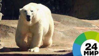 Человек заставил белого медведя похудеть - МИР 24