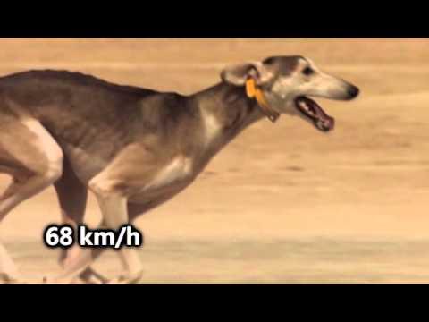 Los 6 perros ms veloces