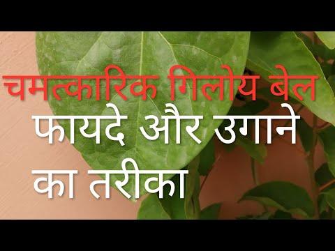 How to Grow Giloy / Tinosopara Cardifolia with health benefits //Evergreen Ayurvedic plants