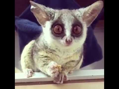 Pizzatoru, the cutest Bush Baby, adorable galago, cute monkey [BEST OF] ピザトル