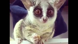 Pizzatoru, the cutest Bush Baby, adorable galago, cute monkey [BEST OF] ピザトル