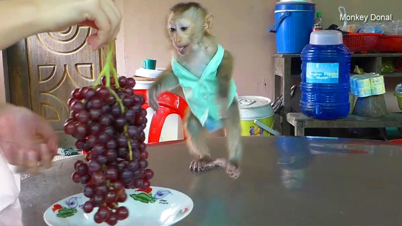 Ohho!! Baby Monkey Donal Run So Fast When Mom Call To Eat Red Grapes