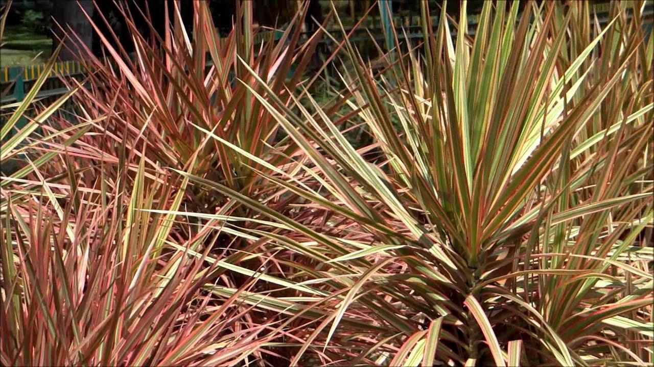 Leafy plant dracaena marginata tricolor tricolor for Plante dracaena