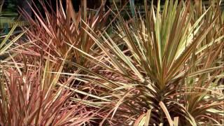 Leafy Plant - Dracaena marginata Tricolor - Tricolor Dracaena