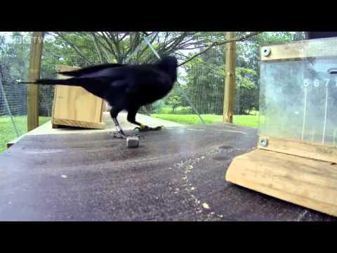 Uji kecerdasan burung gagak omkicau