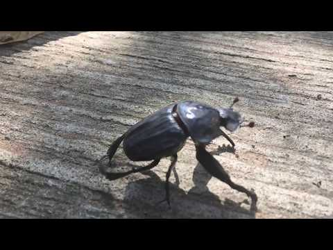 Slow motion footage of a dung beetle taking flight
