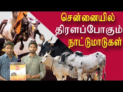 native breeds Cattle fairs in chennai tamil news, tamil live news, tamil news today, latest tamil news, red pix tamil news today A group of volunteers plan to organise Cattle fairs in the name of sembulam in chennai on jan 6th and 7th at ymca at omr the volunteers belief will create better awareness of native breeds and current trends in animal husbandry. There will be 30 native cattle breed to be exhibited and there is special interaction session for kids and young students     For More tamil news, tamil news today, latest tamil news, kollywood news, kollywood tamil news Please Subscribe to red pix 24x7 https://goo.gl/bzRyDm red pix 24x7 is online tv news channel and a free online tv #tamilnewslive  redpix