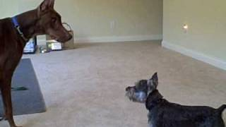Schnauzer Chasing A Doberman