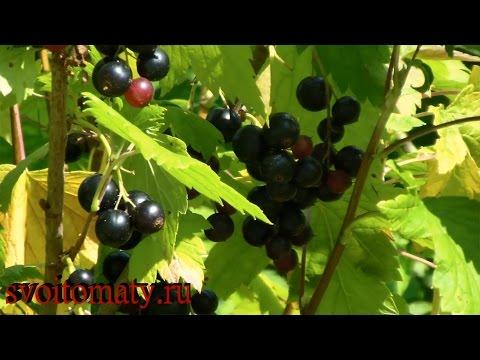 Черная смородина – полезные свойства