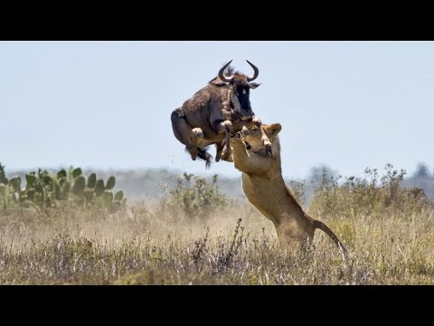 Животные, у которых получилось избежать гибели - Ржачные видео приколы