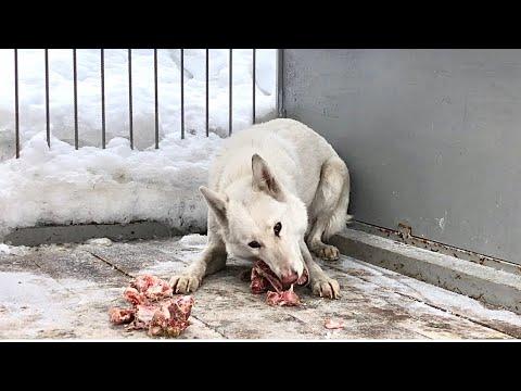 Волэнд в плачевном состоянии, гибрид западно-сибирской Лайки и волка во втором поколении