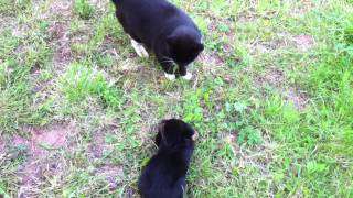 A Very Cool Cat Meets Rottweiler Pup