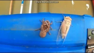 Цикада покидает экзоскелет личинки\Cicada larva leaves the exoskeleton