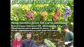 Сорта и гибридные формы винограда часть 2, 2008 год, эпизод 1 Красохина СИ