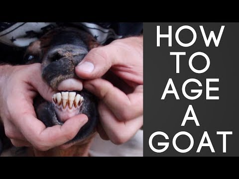 How To Age A Goat