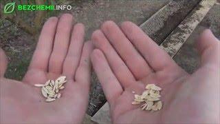 Jak sadzić i siać podstawowe warzywa?