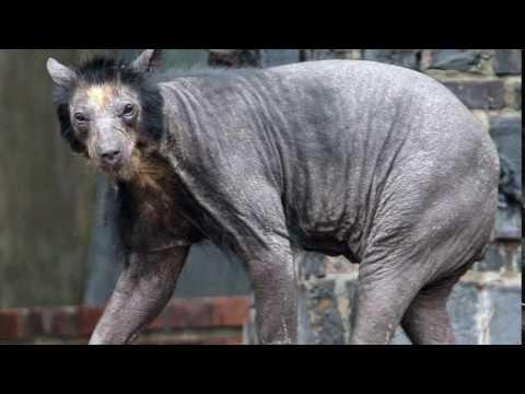 bear with no hair youtube