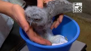 3 Week Old Eastern Screech Owlets - Cincinnati Zoo