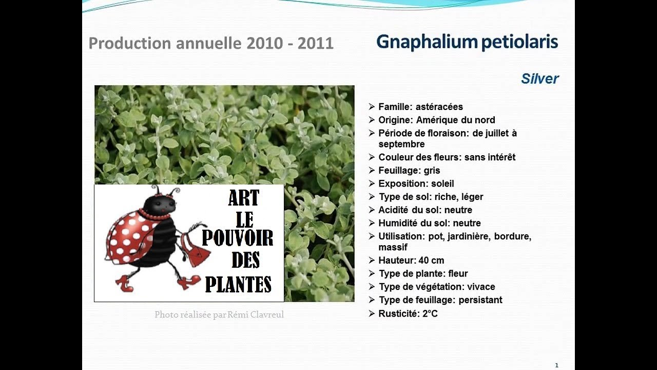 Conseils jardinage gnaphalium petiolaris silver fiche for Conseil jardinage