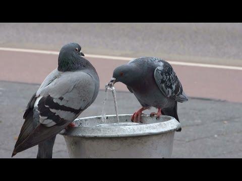 Dorstige duiven drinken uit fonteintje - Amsterdam