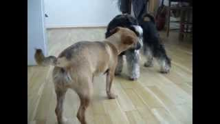 Miniature Schnauzer (11 Month) Playing With Jack Russel Mix  (6month)