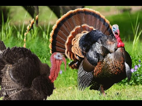 Turkey Bird  sound effects