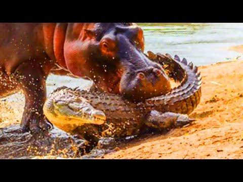 Alligators vs Hippo Bites - World&39;s Greatest Animals