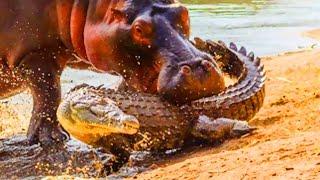 Baixar Alligators vs Hippo Bites - World's Greatest Animals