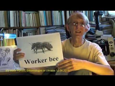 Science in Ukraine: Collection of Wasps, Vespoidea & Scolioidea, Kiev Ukraine 12.06.2015