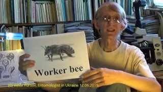 Science in Ukraine: Collection of Wasps, Vespoidea & Scolioidea, Kiev Ukraine 12.06.2015