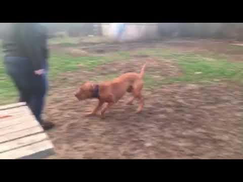 American Pit Bull Terrier For Adoption - AXEL -  Philadelphia PA