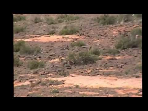 Wild Canaan dogs and baboons