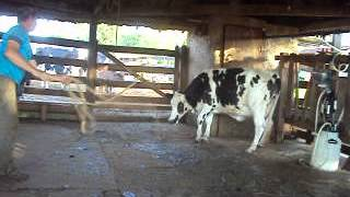 vaca leiteira  primeira cria 1º parte.
