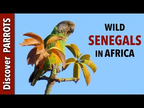 Senegal Parrots - Wild In The Gambia | Discover PARROTS