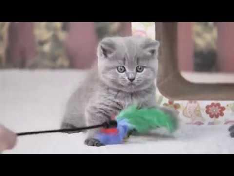 Британская кошка Лагерта в возрасте 6 недель