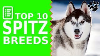 Top 10 Spitz Dog Breeds TopTenz Dogs 101 - Animal Facts