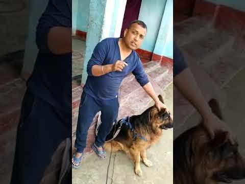Customer feedback long Coat German shepherd puppy sale in 2 year ago in Hajipur Patna Bihar India