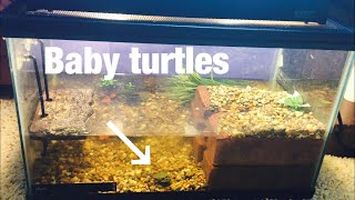 NEW BABY TURTLE TANK!