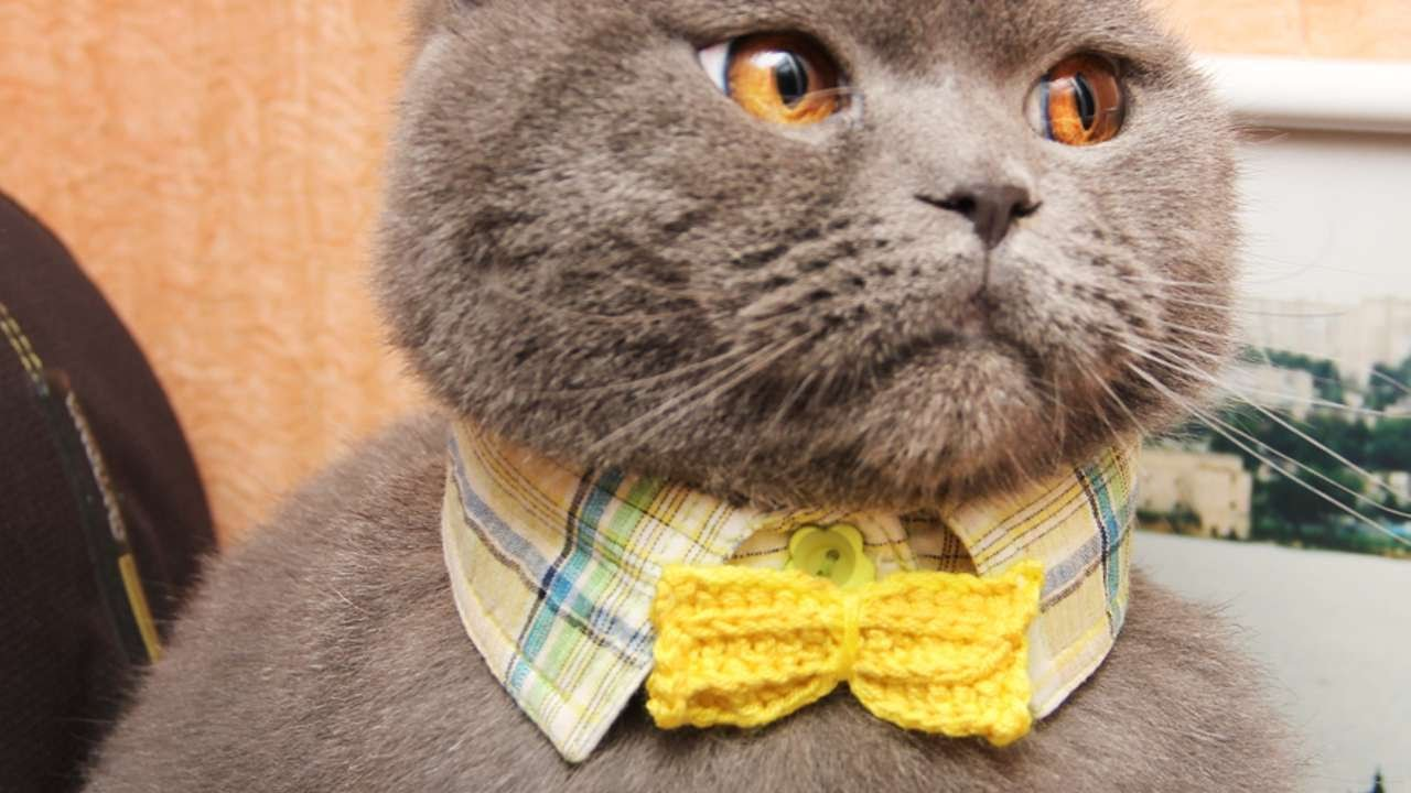 How To Create A Gentleman Cat S Collar Diy Crafts Tutorial Guidecentral