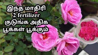 இந்த 2 fertilizer போதும் வெயில் காலத்தில் உங்க ரோஸ் செடி வாடாது அதிக தளிர் மற்றும் பூக்கள் பூக்கும்