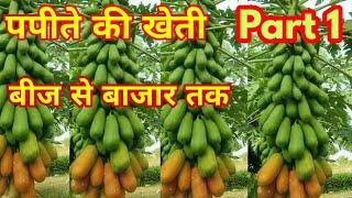 पपीते की खेती की संपूर्ण जानकारी Papita ki kheti Papaya farming #papitakikheti