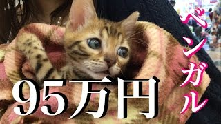 95万円!子猫のベンガル‼︎