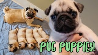 Pug Puppy Compilation